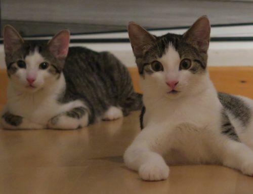 Katzen des Monats September: TICA & INTY