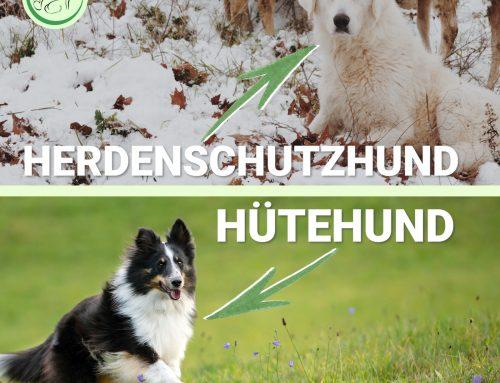 Verwechslungsgefahr – Herdenschutzhunde vs Hütehunde